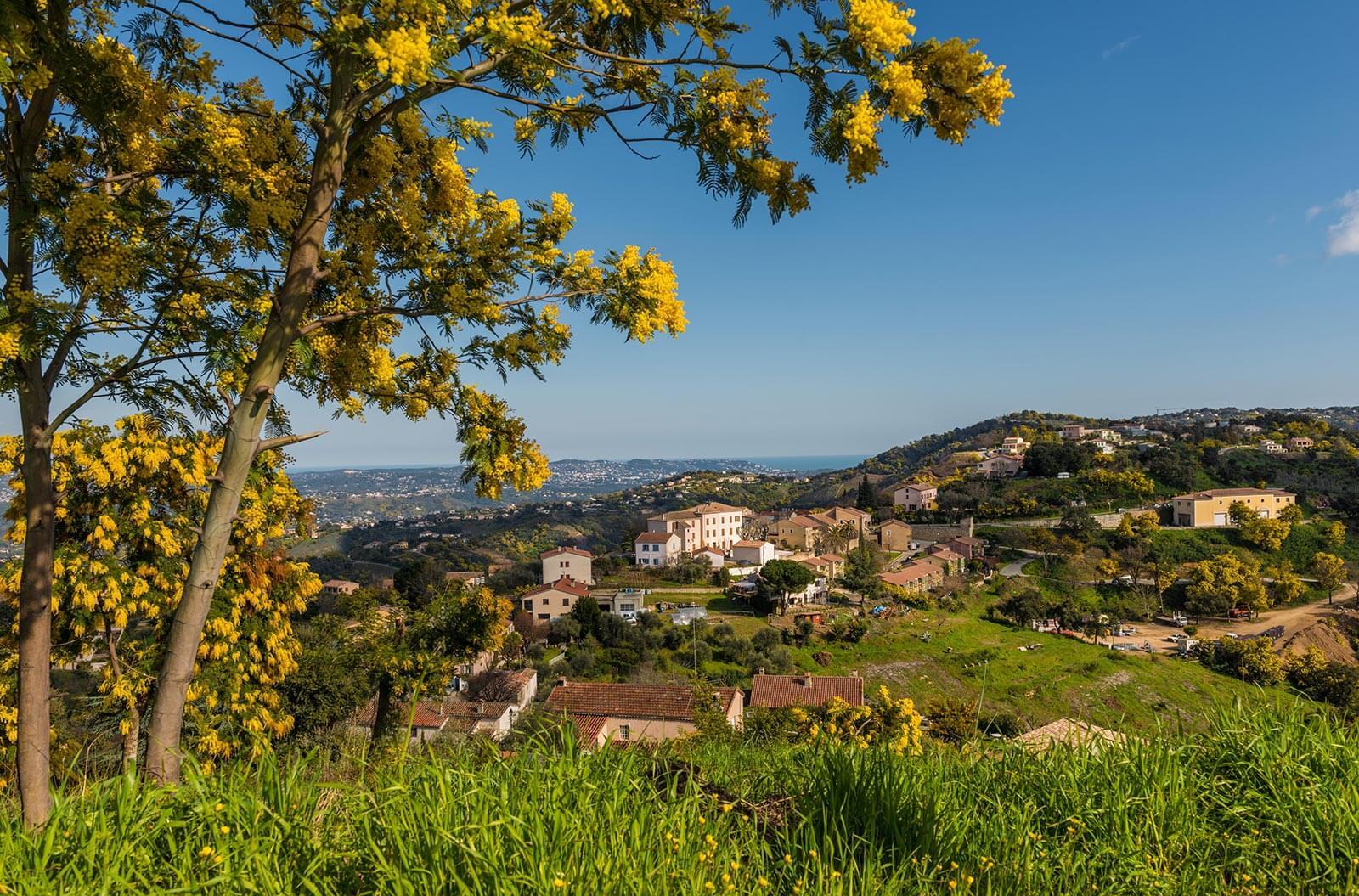 Mimosa en Pays de Fayence