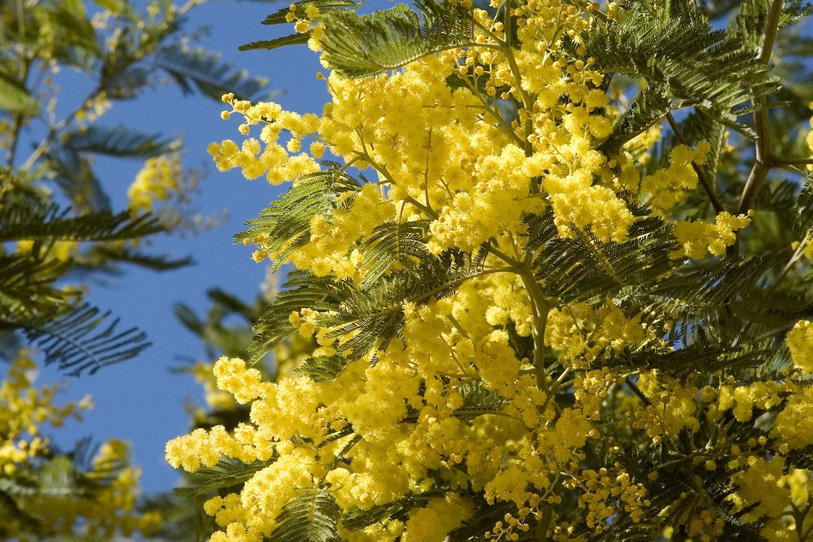 Forêt de Mimosa