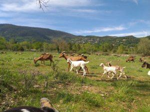 Chèvres La Fermes de Cairns