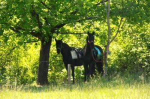 Balade à cheval «Le champ des Oliviers»